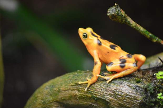 In this photo taken Jan. 2, 2012, and provided by the Maryland Zoo, a Panamanian golden frog is shown at the Maryland Zoo in Baltimore. The zoo has been recognized by the Association of Zoos and Aquariums for its leadership in working to save this endangered species. (Maryland Zoological Society via AP)