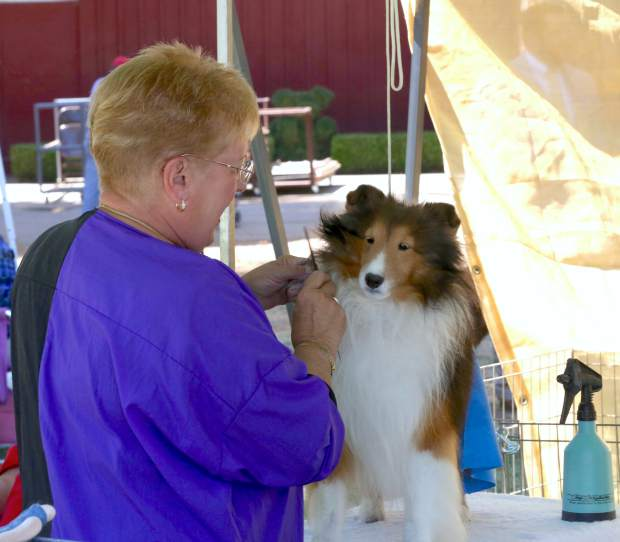 A dog gets groomed during the Gold Country Kennel Club Dog Show at the Nevada County Fairgrounds Saturday afternoon.