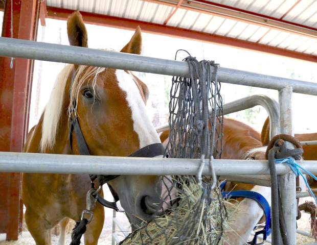 Draft horses eat lunch during opening day of the Draft Horse Classic at the Nevada County Fairgrounds Thursday.