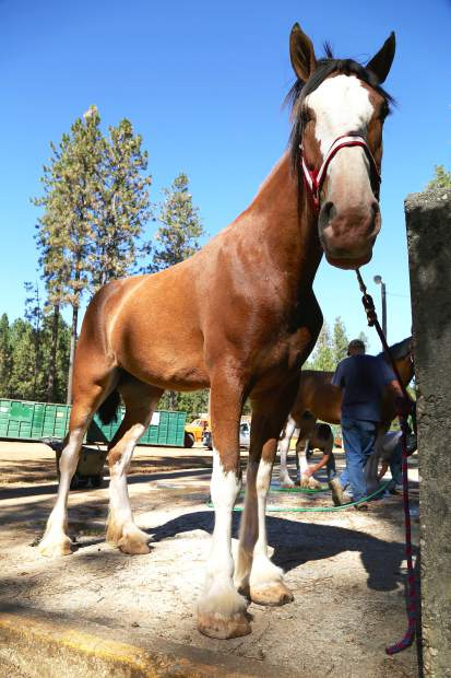 Three-year-old Ruby waits for her bath in preparation for the Draft Horse Classic on Wednesday at the Nevada County Fairgrounds. Will Snyders has entered the 18 hand horse into all of the pleasure class competitions for this week.