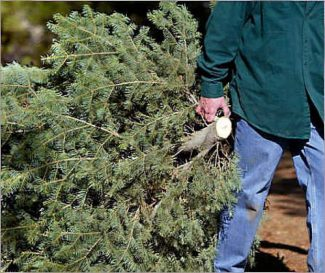 The National Fire Protection Association says that it is important to take down decorated Christmas trees before they dry out and become a fire hazard.