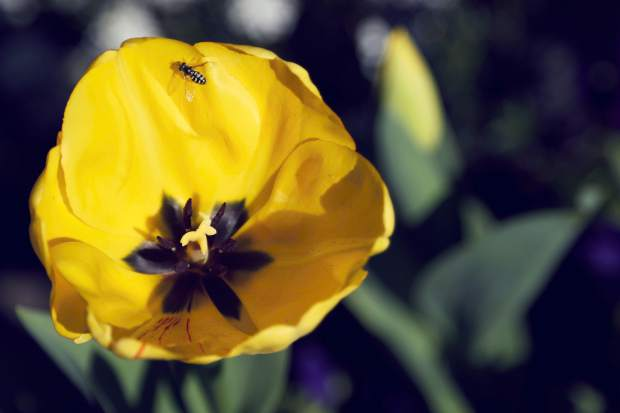 Springtime at Ananda festival opens today. The public is invited to tour the gardens in the San Juan Ridge community to see more than 15,000 tulip blubs in bloom.