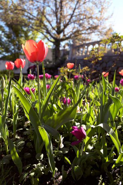 Spring has arrived at Ananda VIllage on the San Juan Ridge. There are more than 75 varities of tulips planted in the gardens.