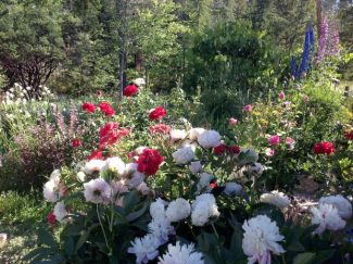 A foothill perennial garden in spring:  Columbine, Delphinium, Penstemon, Lupine, Peonies and Roses.