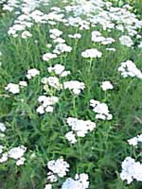 Rethinking lawn with native yarrow | TheUnion.com
