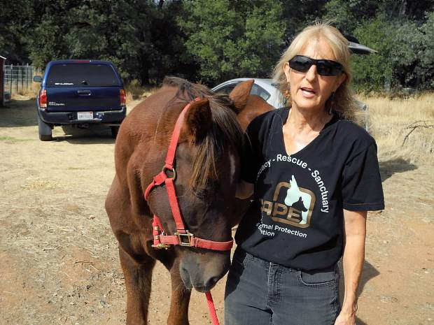 JP Novic, executive director of Center for Animal Protection & Education, led Rafael from his corral on Friday, Oct. 23, at CAPE Animal Sanctuary in Grass Valley, Calif.