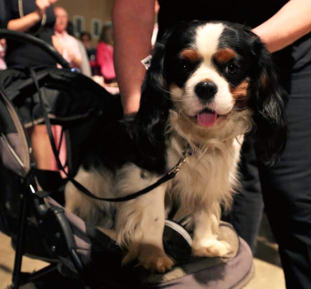 Service dog, Julio, supports Salsa Sierra at Paint the Town Pink at the Nevada County Fairgrounds Thursday evening.