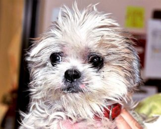 Jelly Bean- Lhasa Apso Mix. Neutered male. Found as a stray. House trained. Good with other dogs and cats at Sammie's Friends, 14647 McCourtney Rd  Grass Valley, CA 95949, (530) 471-5041.