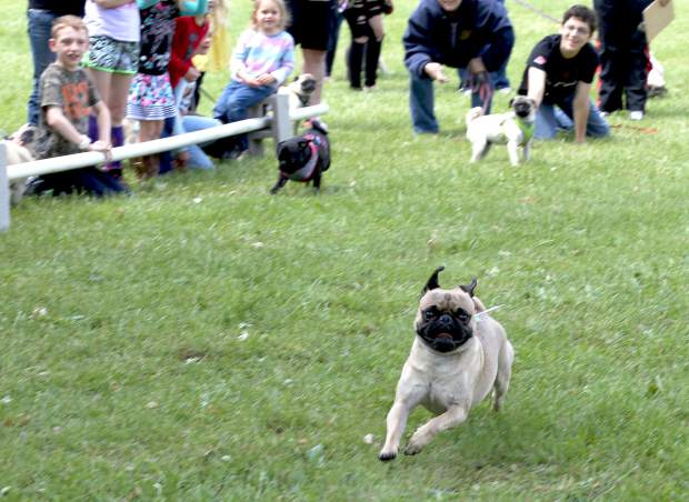 Pug puppies race in the Pug Sunday Pug Races at Western Gateway Park in Penn Valley Sunday morning.