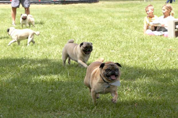 Pugs race in the Pug Sunday Pug Races at Western Gateway Park in Penn Valley Sunday morning.