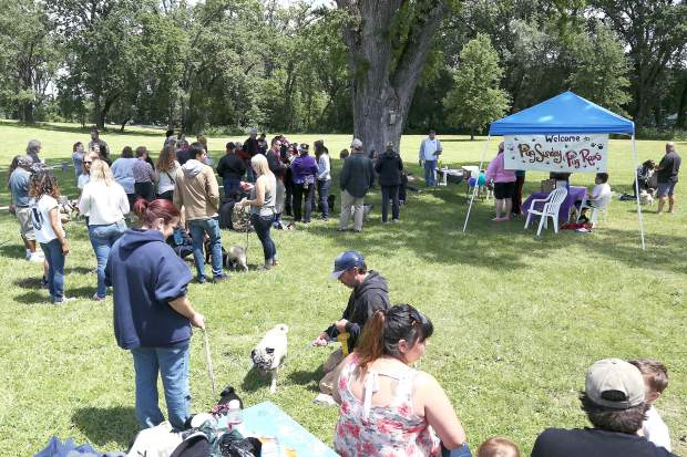 Pugs and pug owners gather for the Pug Sunday Pug Races at Western Gateway Park in Penn Valley Sunday morning.