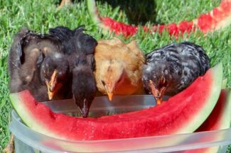 Smartsville chicks turn out for a feast of watermelon.