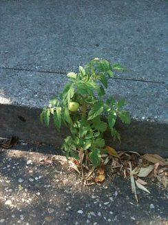 A lone plant bearing one tomato worked its way up through a crack in the asphalt in the parking lot of Tofanelli's Restaurant in Grass Valley.Submitted photo by Susan Purdy