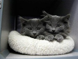 These kittens are amng those available for adoption at AnimalSave.