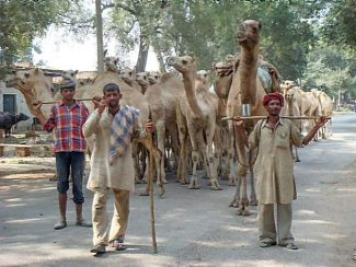 Camels for sale on the road out of Allahabad.
