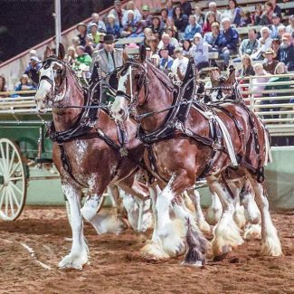 Draft Horse Classic starts today at Nevada County Fairgrounds