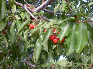 Romance of the season: North Yuba Grown invites foodies to a picnic in a cherry orchard