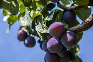 Plums are 'Harvest of the Month' at Sierra Harvest