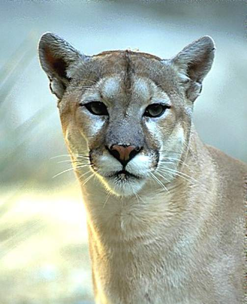 Coexistence crisis: Living with mountain lions in the ...