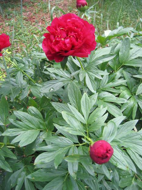 Carolyn Singer Peonies A Perennial Growing For Generations