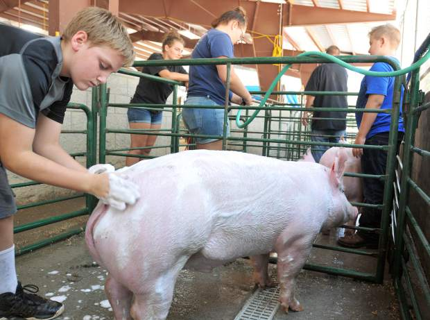 Lyman Gilmore Middle School student Albert Wahl washes his pig that he's raised in preparation for the market swine and showmanship competitions for this year's Nevada County Fair, going on now at the Nevada County Fairgrounds.