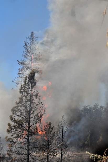 Pine trees torch into the air during the hot burning Pleasant Fire in North San Juan Wednesday.