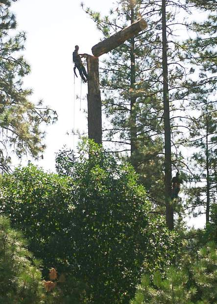 Mike Ellis, a climber for Brendan O'Keefe Tree Care, is pictured topping off an expired Tall Pine near Dorsey Drive on July 25.