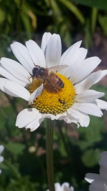 A busy bee in a flower at Empire Mine.