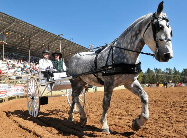 A Percheron draft horse struts its stuff around the arena as the juniors class of competitors takes to the fairgrounds Saturday as part of a day full of equine pomp, pageantry and prowess during the 31st annual Draft Horse Classic at the Nevada County Fairgrounds in Grass Valley.