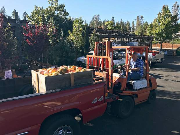 Emil Baldoni of Weiss Brother's Nursery bringing in another load of Grass Valley grown pumpkins for their pumpkin patch.