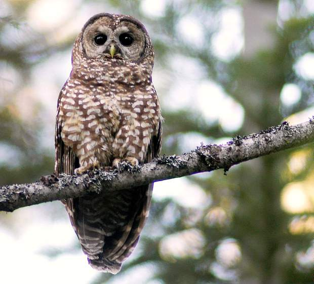 an opinion on the importance of protecting the habitat of spotted owls in the american forests Magazine article american forests saga on the spotted owl read preview for a bird as territorial as the northern spotted owl, such habitat owls forests.