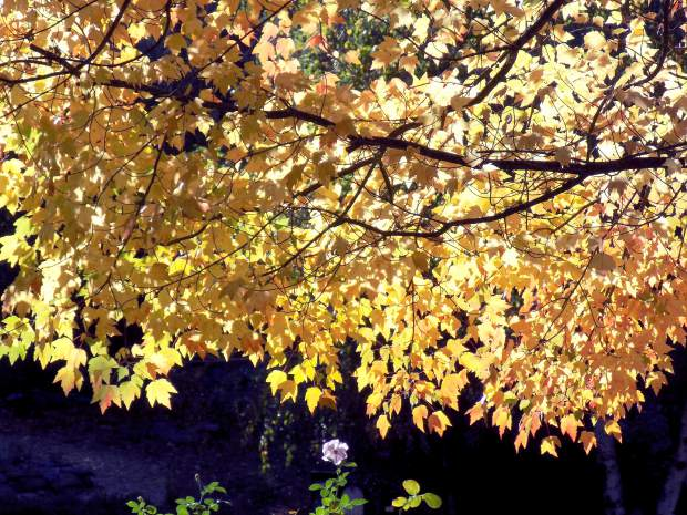 A tree with with yellow Fall leaves on Nimrod Street in Nevada City.