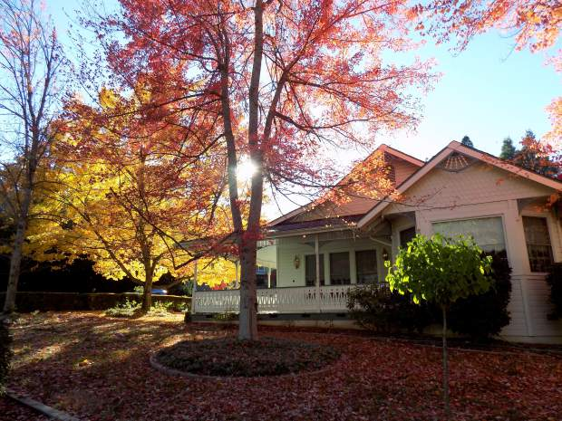 Nice red-leafed tree on Nimrod Street in Nevada City near Gold Nugget Court.