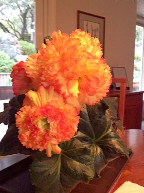 Some local Tuberous Begonia flora picked and displayed.