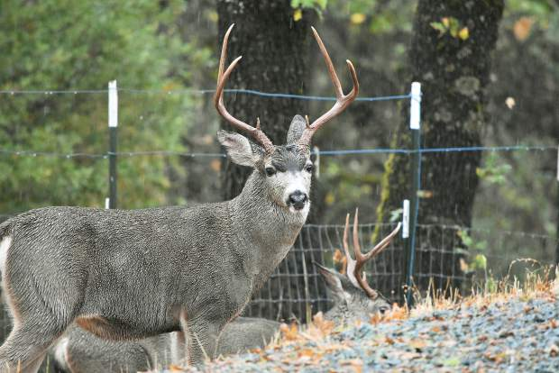 Picture of a buck on Indian Shack Road in Nevada City.