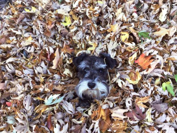 A local dog peaking out of a pile of fallen leaves.