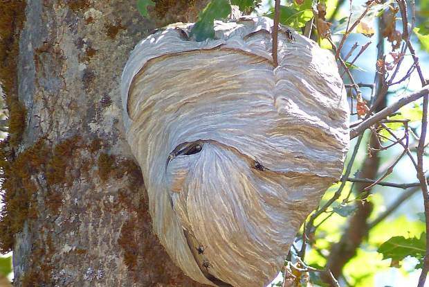 Shot of a bold faced hornet nest hanging from a tree.