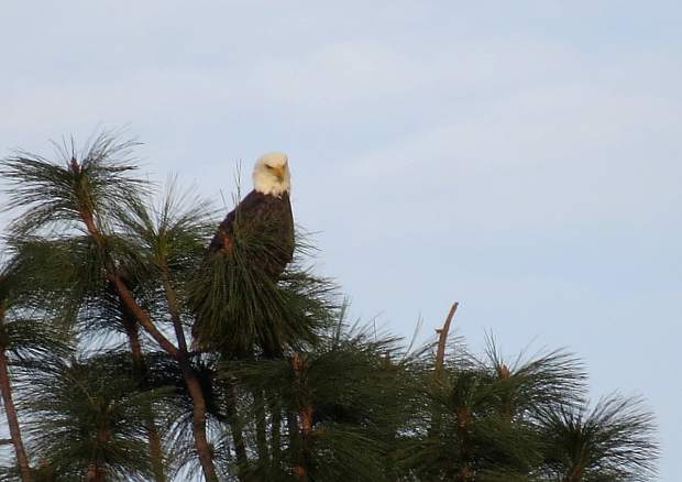 An eagle sits atop a Lake of the Pines tree.