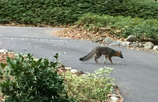 A Fox ambled across a Banner Mountain Road driveway this past Friday morning.