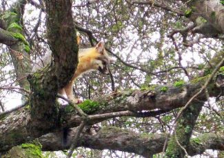 Nevada County Captures: Little piggie; Fox in a tree