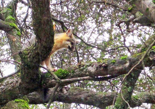Last Friday this small red fox sat high up in an oak tree, at least 40 feet above the ground in Penn Valley.