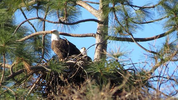 Eagles nesting in a Nevada County tree.