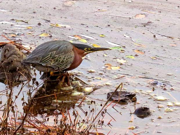 This Green Heron was hoping to catch a fish in Lake of the Pines.