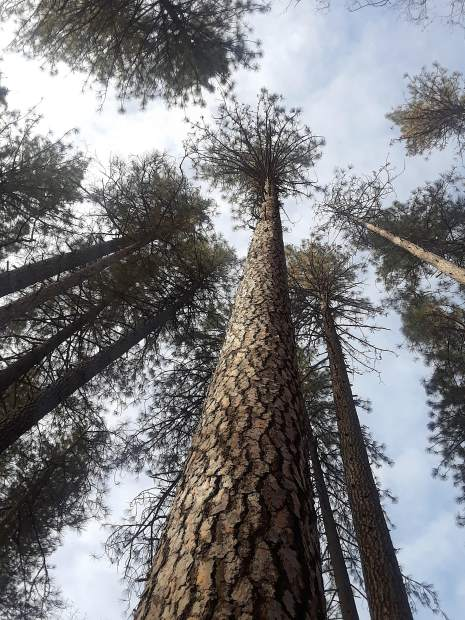 Shot taken earlier this week of majestic trees at the fairgrounds in Nevada county.