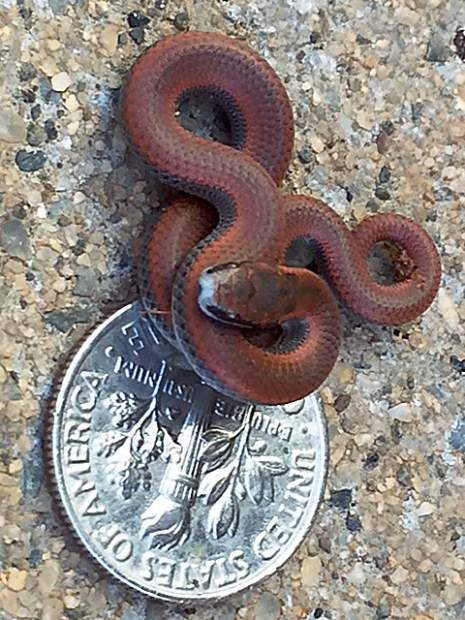 A tiny and beautiful sharp-tailed snake in Alta Sierra.