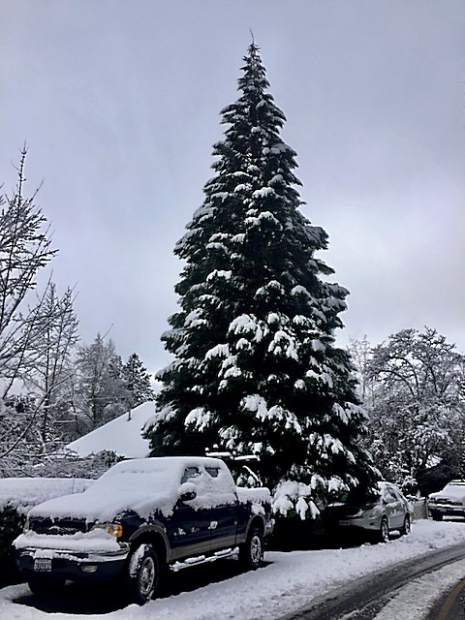A redwood tree reaching high in the sky above a Nevada City home on Monday.
