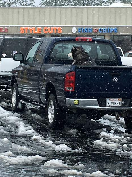 Snow falling on a dog hanging out in the bed of a truck off McKnight Way in Grass Valley.