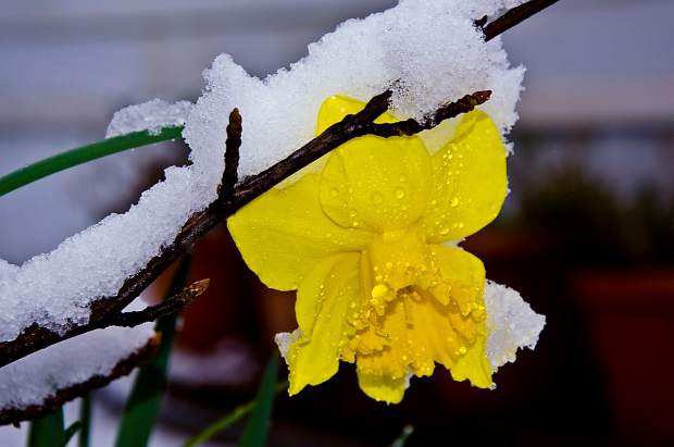Sad daffodil in the snow.