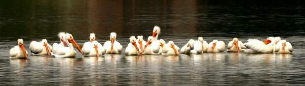A flock of White Pelicans stopped by Lake of the Pines on their way east.
