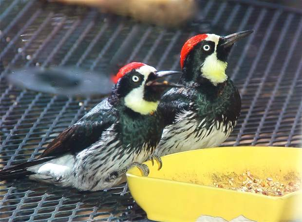 Woodpeckers at the trough.